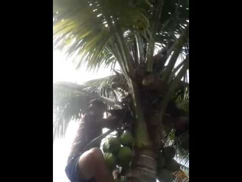 Tall man climbing short coconut tree