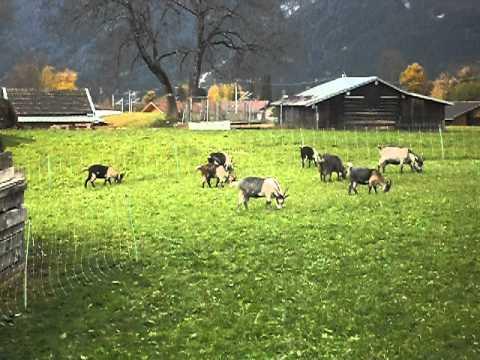 sinos das cabras