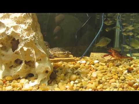 Snapping Turtle Eats Crawfish 2: Feeding Session