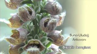 Arıkovanı Çiçeği, Digitalis ferruginea ssp. ferruginea