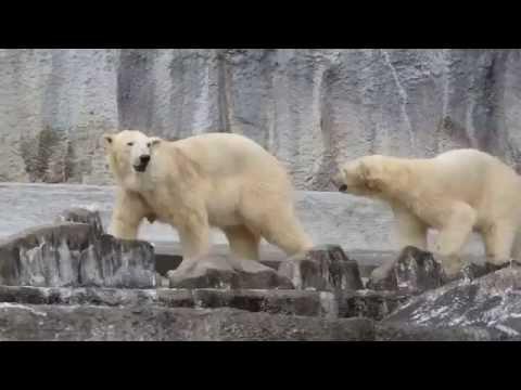 何気ない母娘の時間 バフィン&モモ②  浜松市動物園のホッキョクグマ