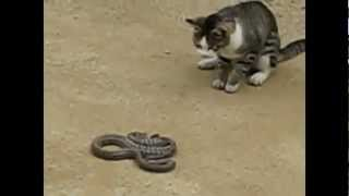 Cat vs Snake Fight