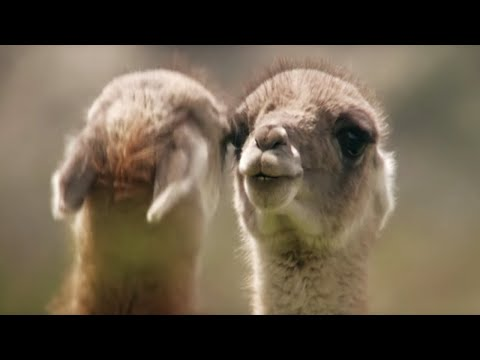 Brutal Guanaco fight for dominance - Wild Patagonia - BBC Earth