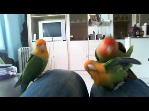 Roseicollis A Acasalar Love Birds Mating video