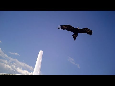 Wedge Tailed Eagles ATTACK Parkzone Radian Glider!! Aerobatics Filmed with #16 808 camera