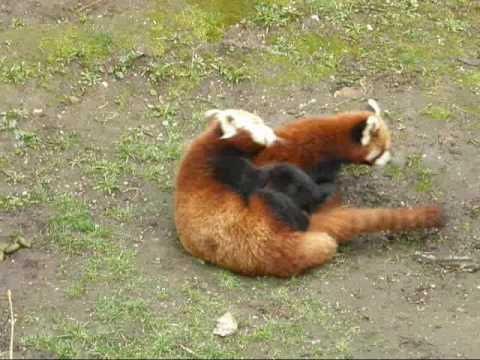 little Red Pandas mating