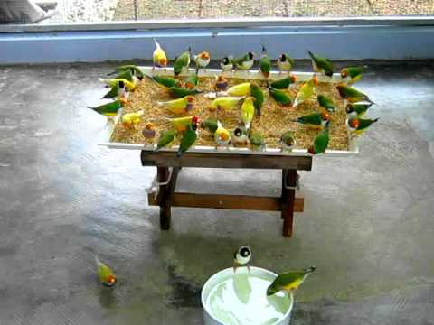 anuthep1 - Gouldian Finch.avi