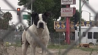 Mandi - rescue of a homeless Pitbull living in an abandoned yard.  This sweetie now needs a home.