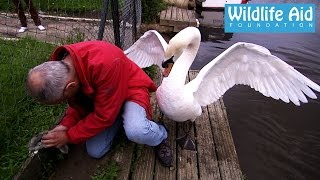 Cygnet rescue - Simon beaten up by an angry swan