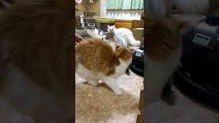 【家庭猫向けメス】計画繁殖 猫の人工交配