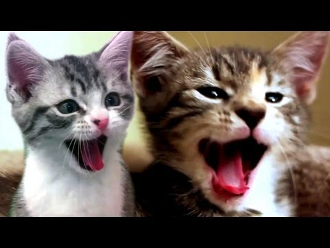 CATS SCREAM YAWNS