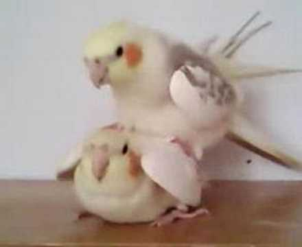 Korely - Cockatiels mating