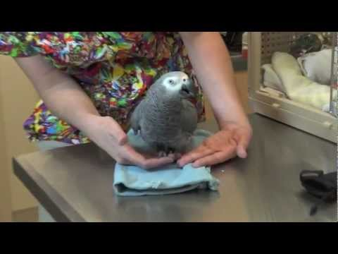 Lola the African Grey was given skillful orthopedic surgery..