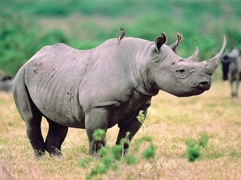 The Rhino War - National Geographic