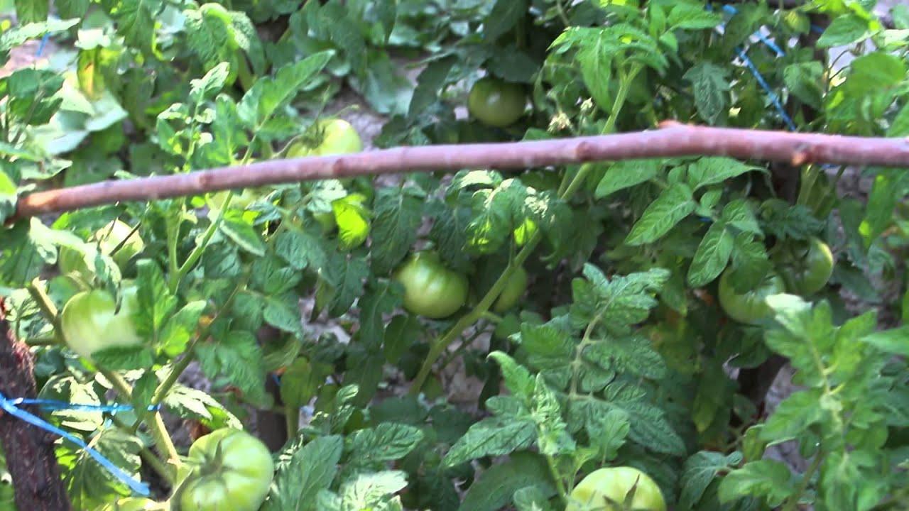 Выращивание помидоров в азербайджане 85