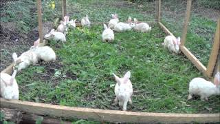 Meat Rabbits, Solid Ground? Plus Chores And Cleaning The Barn. Happy Bunnies.