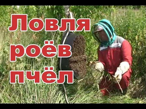видео ловля бродячих роев пчел