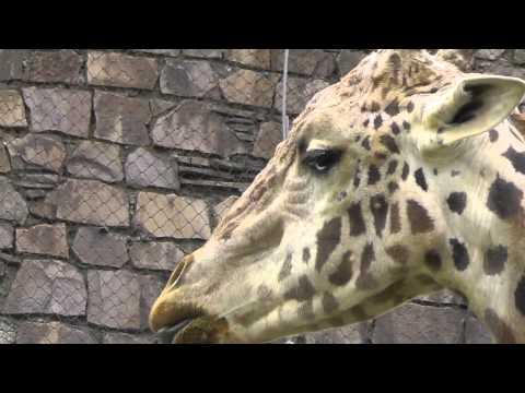 2011年6月4日 円山動物園 マサイキリンのユウマ
