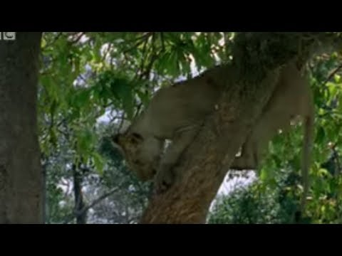 Lion cubs vs baboon - BBC wildlife