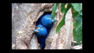 NATURECO Pantanal Hyacinth Macaws leaving the nest