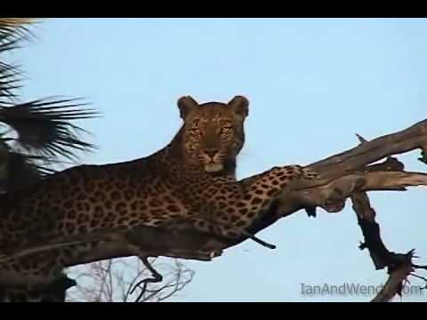 Leopard in a tree in the Okavango Delta(Botswana)