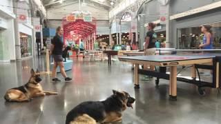 """1 Year Old German Shepherd """"Hannah"""" / German Shepherd Trainers/ Best Dog Trainers Orlando"""