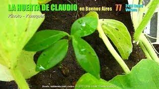 Cultivo del kumquat orgánico - Kinotos orgánicos 1/3