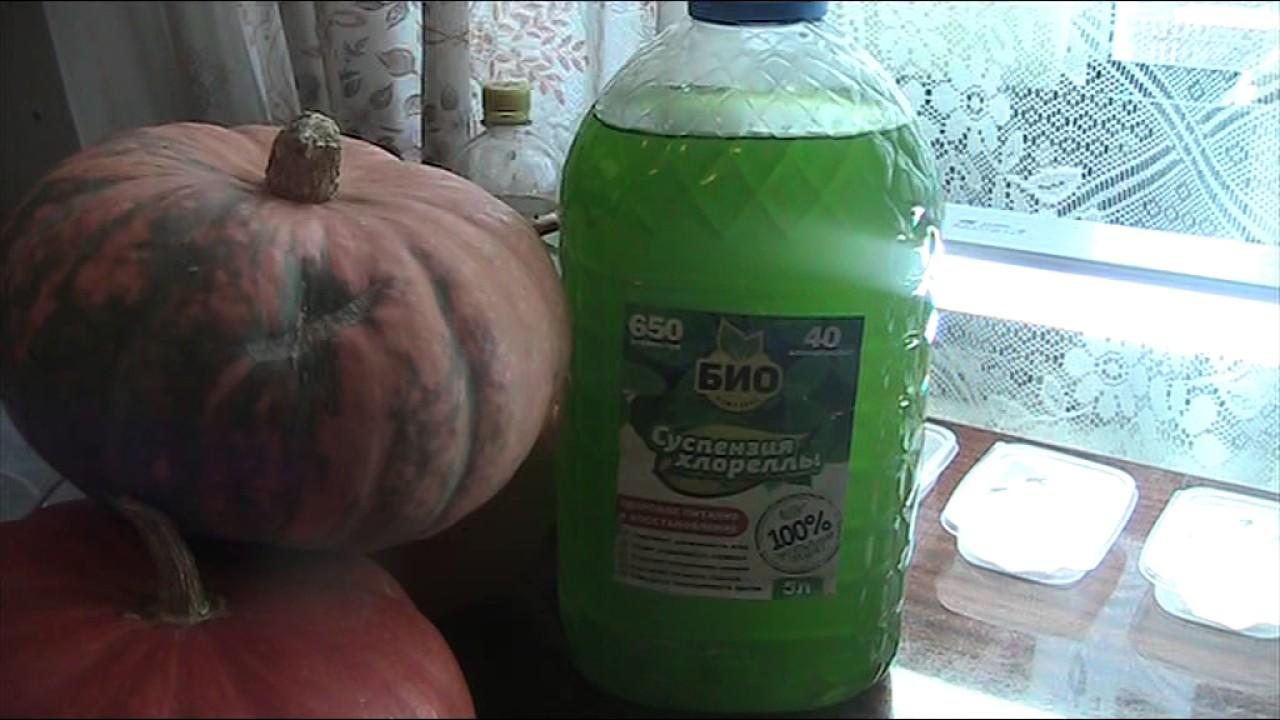 Выращивание хлореллы в домашних условиях в банке 55