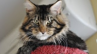 9 months, mainecoon Fluorities Fragrance Luxury Coon`s*SK