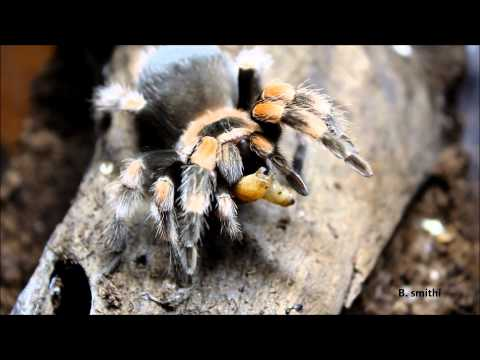 Tarantula feeding video 2 (HD)! Tarantulas, mantis and scorpion compilation!