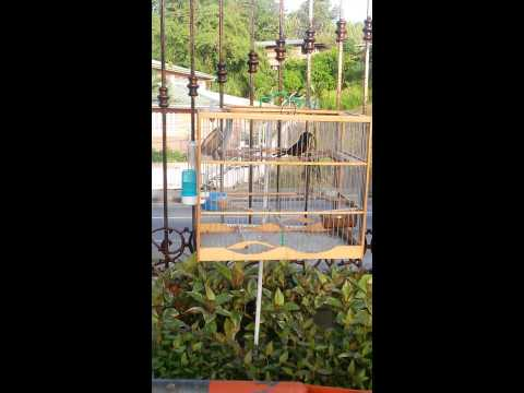 Trini Bullfinch 2014 video