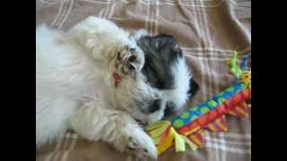 Cute Shih Tzu puppy - Mini Cooper snoring