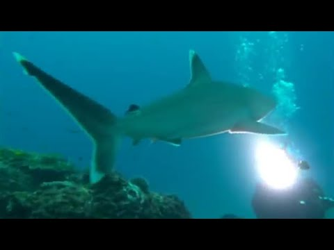 Diving with silver-tip sharks - Dive to Shark Volcano - BBC
