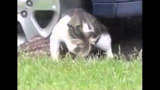 [Cat with fawn] Video