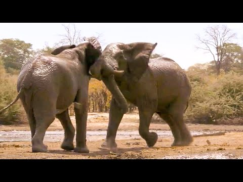 Top 5 Most Tense Elephant Moments | BBC Earth