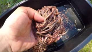 рыбалка как разводить навозных червей