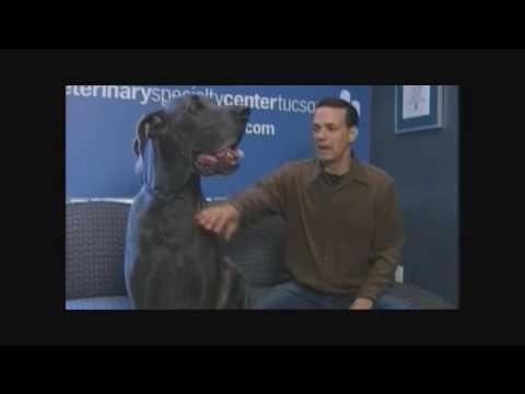 Grösster Hund der Welt d.Dogge  u.Bodyguard Great Dane Germany