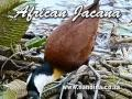 Frame from African Jacana (Actophilornis africana) walking on water plants