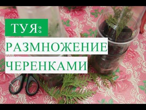 Выращивание туи из черенка домашних условиях 55