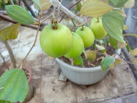 HOW TO GROW JUJUBE OR APPLE BER  PLANT EASILY IN CONTAINER ON TERRACE