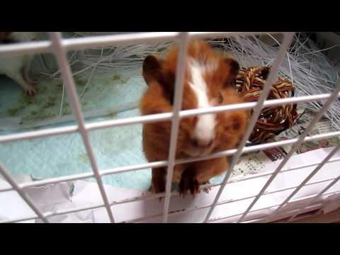 Guinea pig whistling
