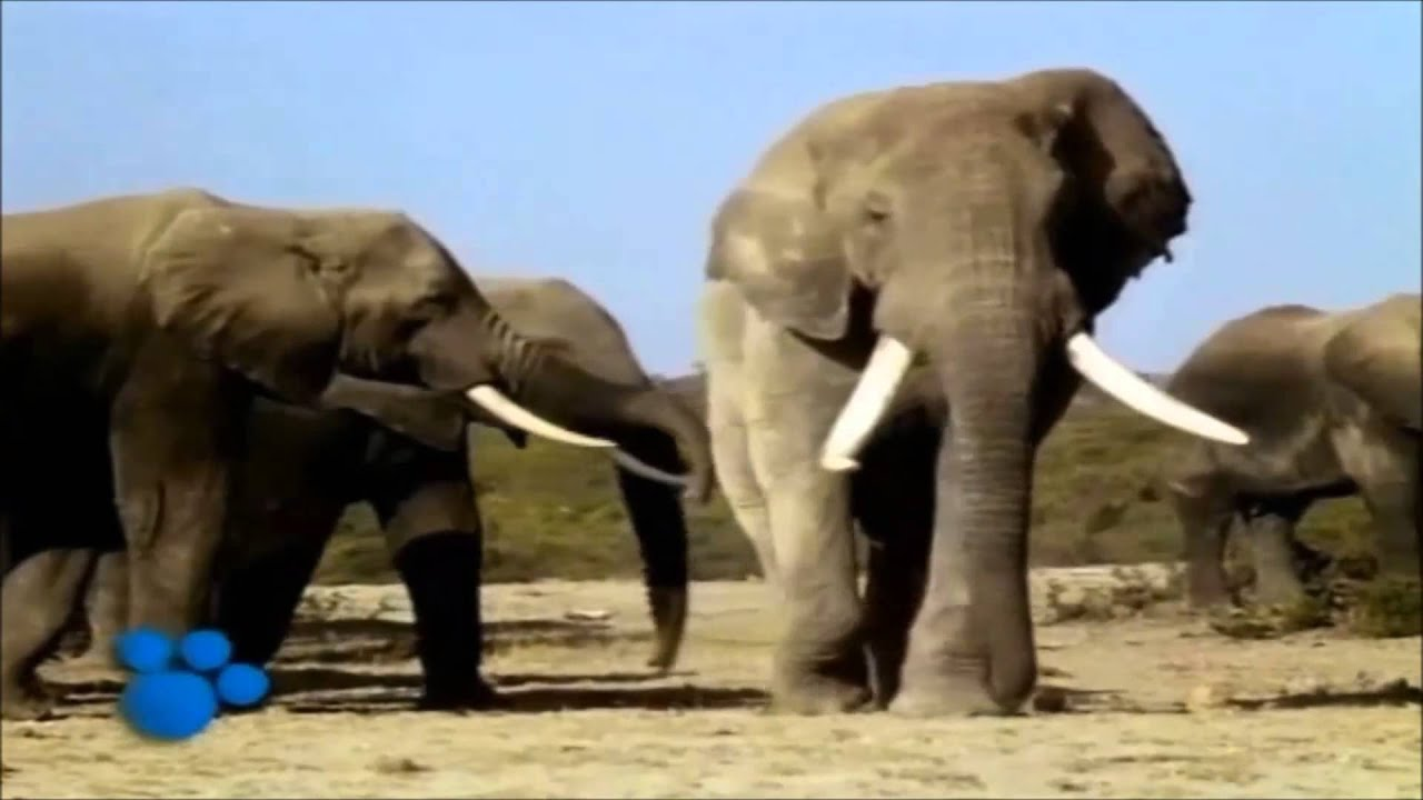 African Elephants - the Biggest Animal in Africa - part 1 ...