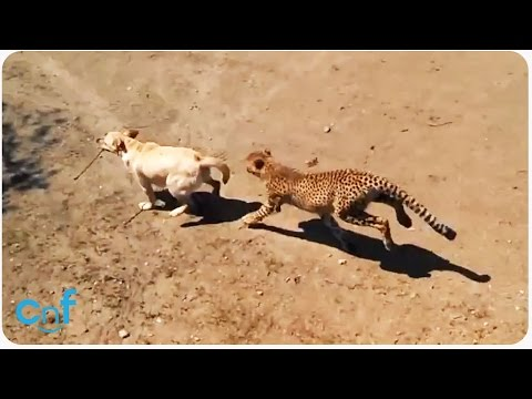 Labrador Dog and Cheetah Playing | Catch Me If You Can!
