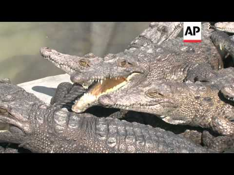 Optimal conditions help endangered captive crocodiles to breed