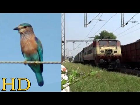 Cute Indian Roller Bird Vs Monster Looking Bhusawal Wap-4 With 12130 Azad Hind Express At Murhipar video