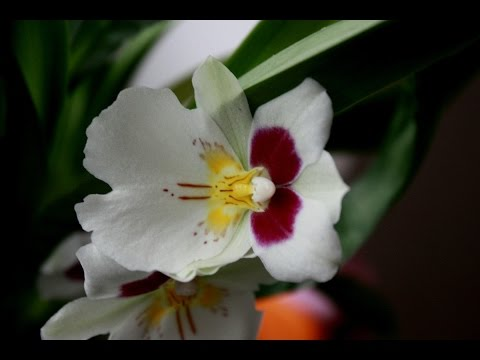 Орхидея зацвела Miltoniopsis Первое цветение за 3 года