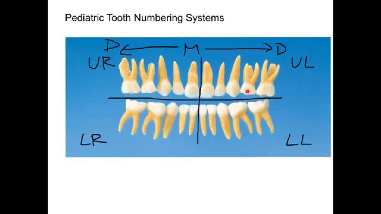 Primary teeth anatomy