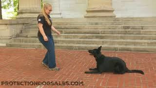 "Hard Working Black German Shepherd ""Letty"" 1 Yr Super Trick Star Obedience Protection Trained Dog"