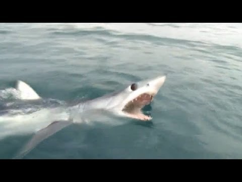 MAKO SHARK FLIES AND BIG TOPE SWIMS - YouFishTV