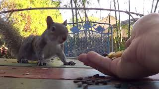 One very nervous hand fed squirrel